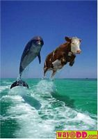 Cow jumping